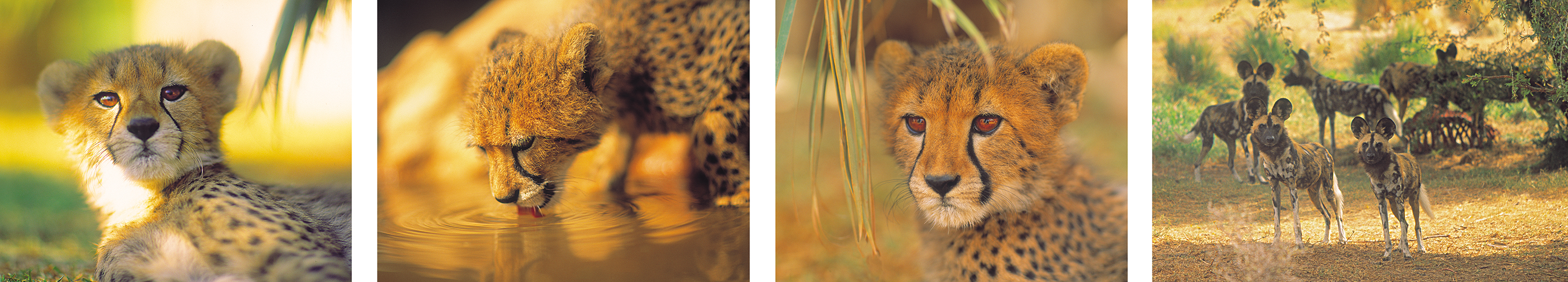 cheetah-cubs-by-philip-lane-photography