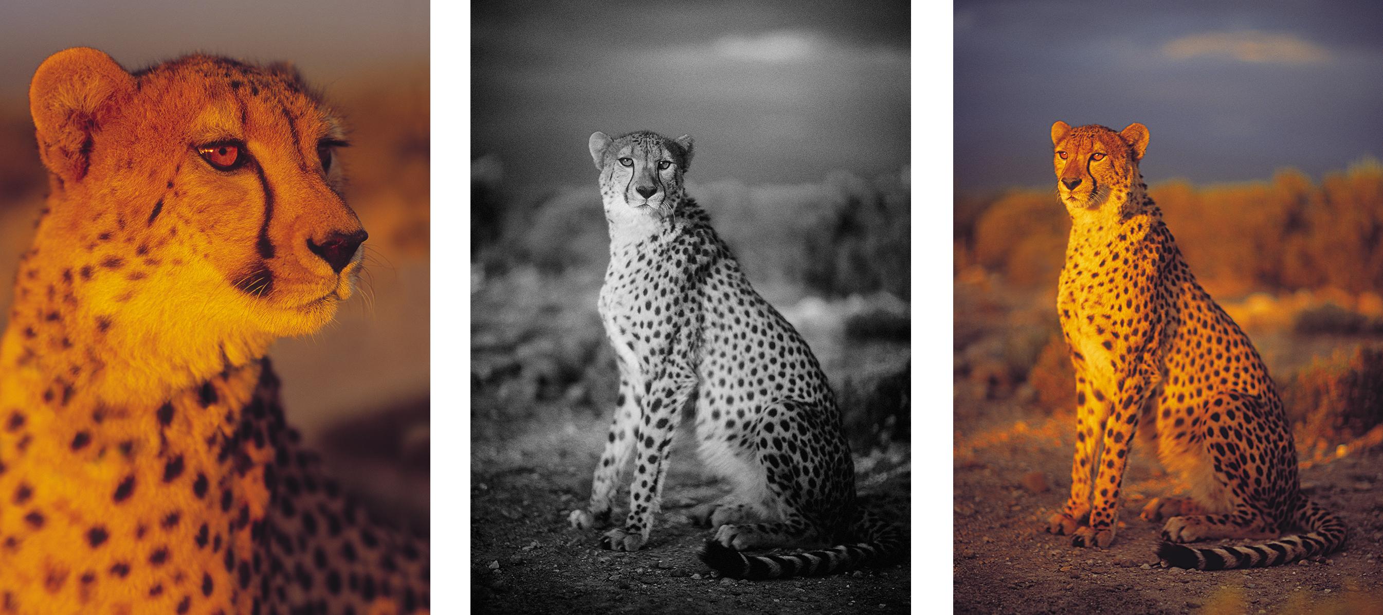 chhetah-novorapid-by-philip-lane-photography