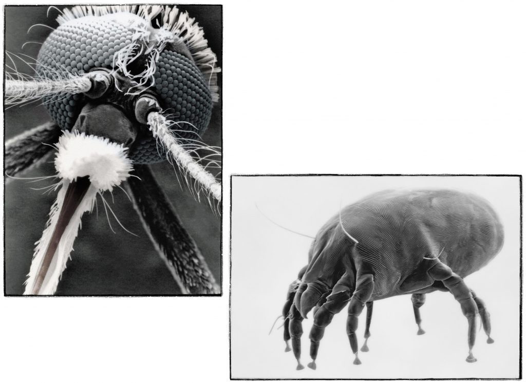 mosquito-and-dust-mite-by-philip-lane-photography