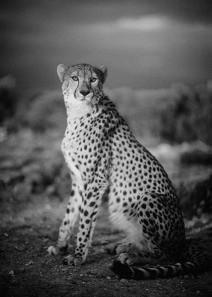 pulmicort-cheetah-by-philip-lane-photography