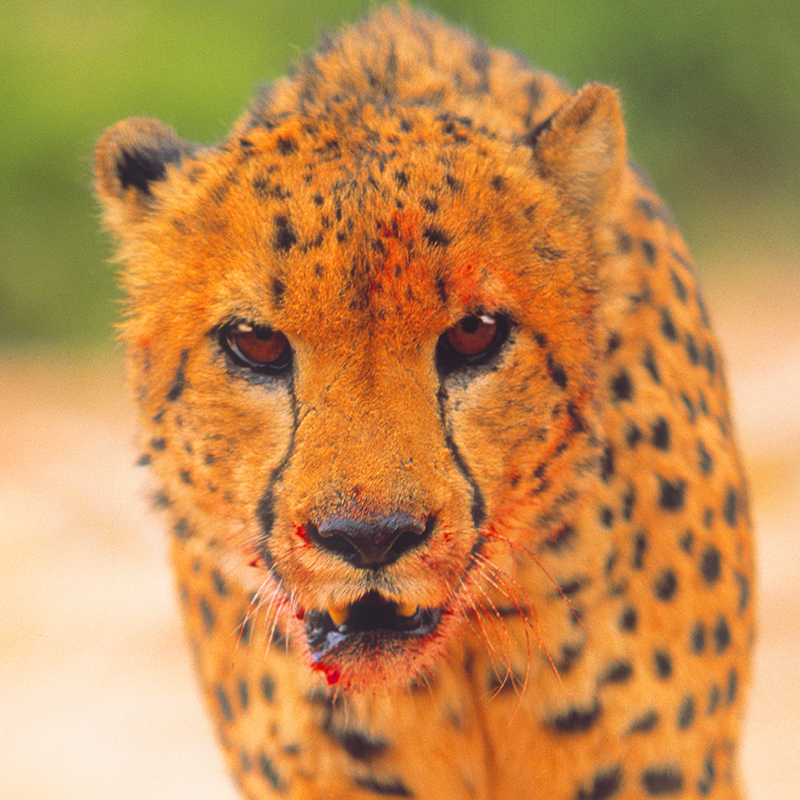 shooting-cheetahs-for-novorapid-by-philip-lane-photography