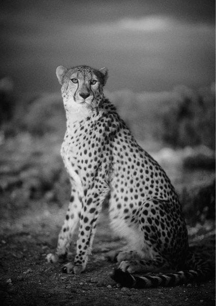 novorapid-cheetah-by-philip-lane-photography
