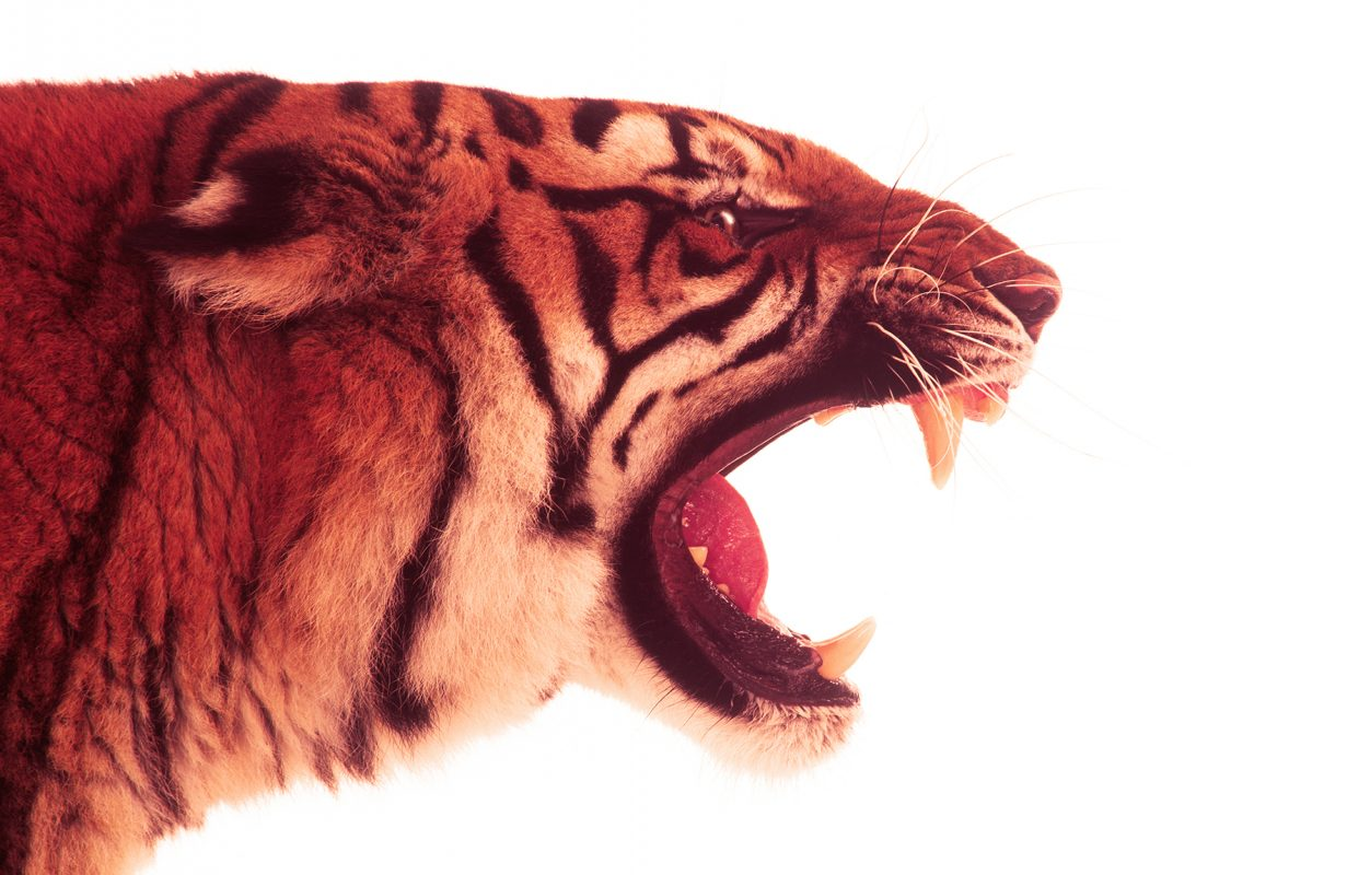 esso-tiger-by-philip-lane-photography
